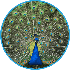 Peacock with Feathers Showing