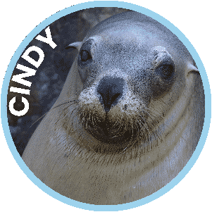 Cindy the Seal in Coffs Harbour