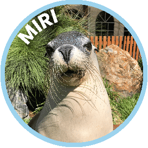 Miri the Seal in Coffs Harbour