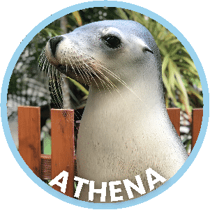 Athena the Seal in Coffs Harbour