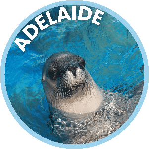 Adelaide the Seal in Coffs Harbour