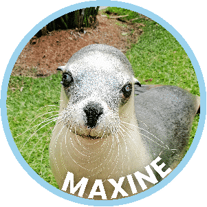 Maxine the Seal in Coffs Harbour
