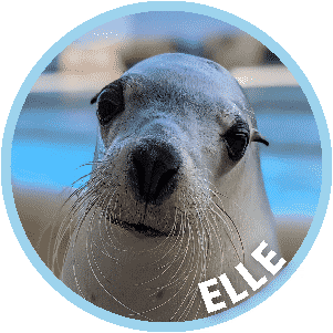 Elle the Seal in Coffs Harbour