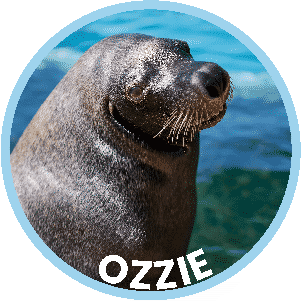 Ozzie the Seal in Coffs Harbour