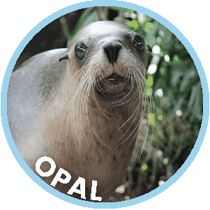 Opal the Seal in Coffs Harbour