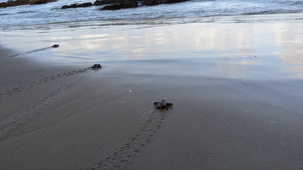 Turtles Going Back Into the Ocean