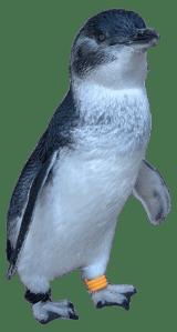 Little Blue Penguin Graphic
