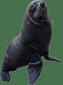 Australian Sea Lion Graphic