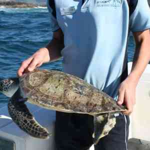 Turtle Conservation on the Coffs Coast