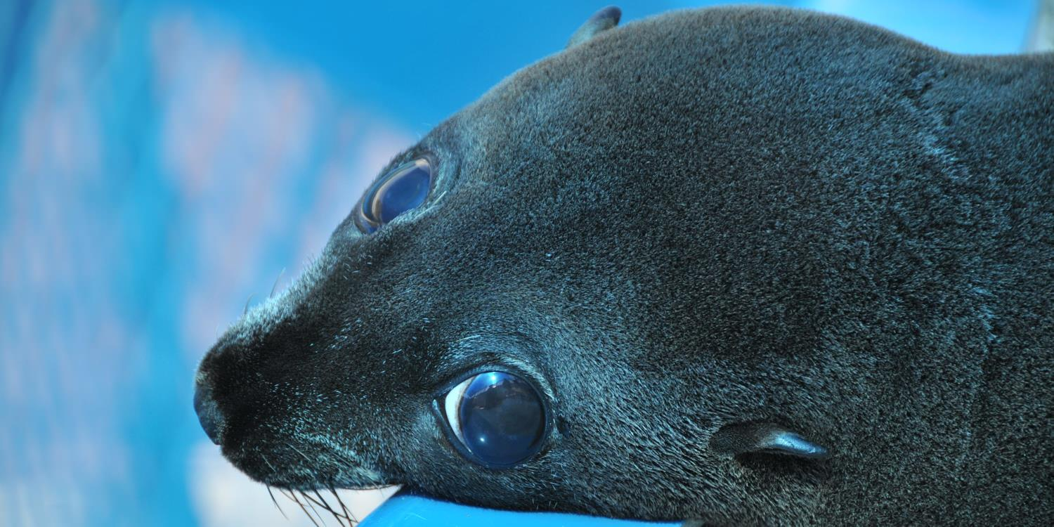Seal Conservation in Coffs Harbour