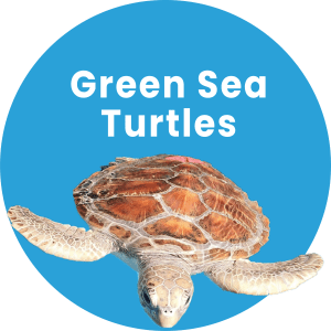 Green Sea Turtles Dolphin Marine