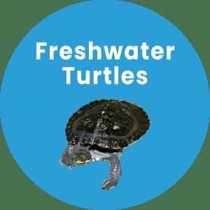 Freshwater Turtles in Coffs Harbour