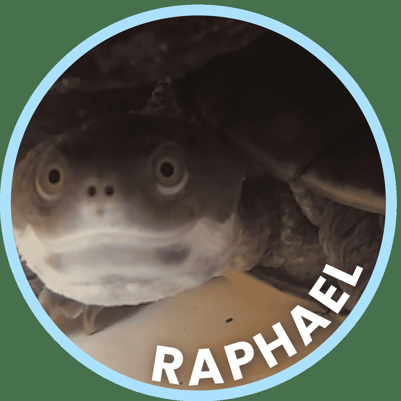 Raphael Freshwater Turtle