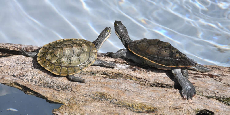 Turtle Conservation Coffs Harbour