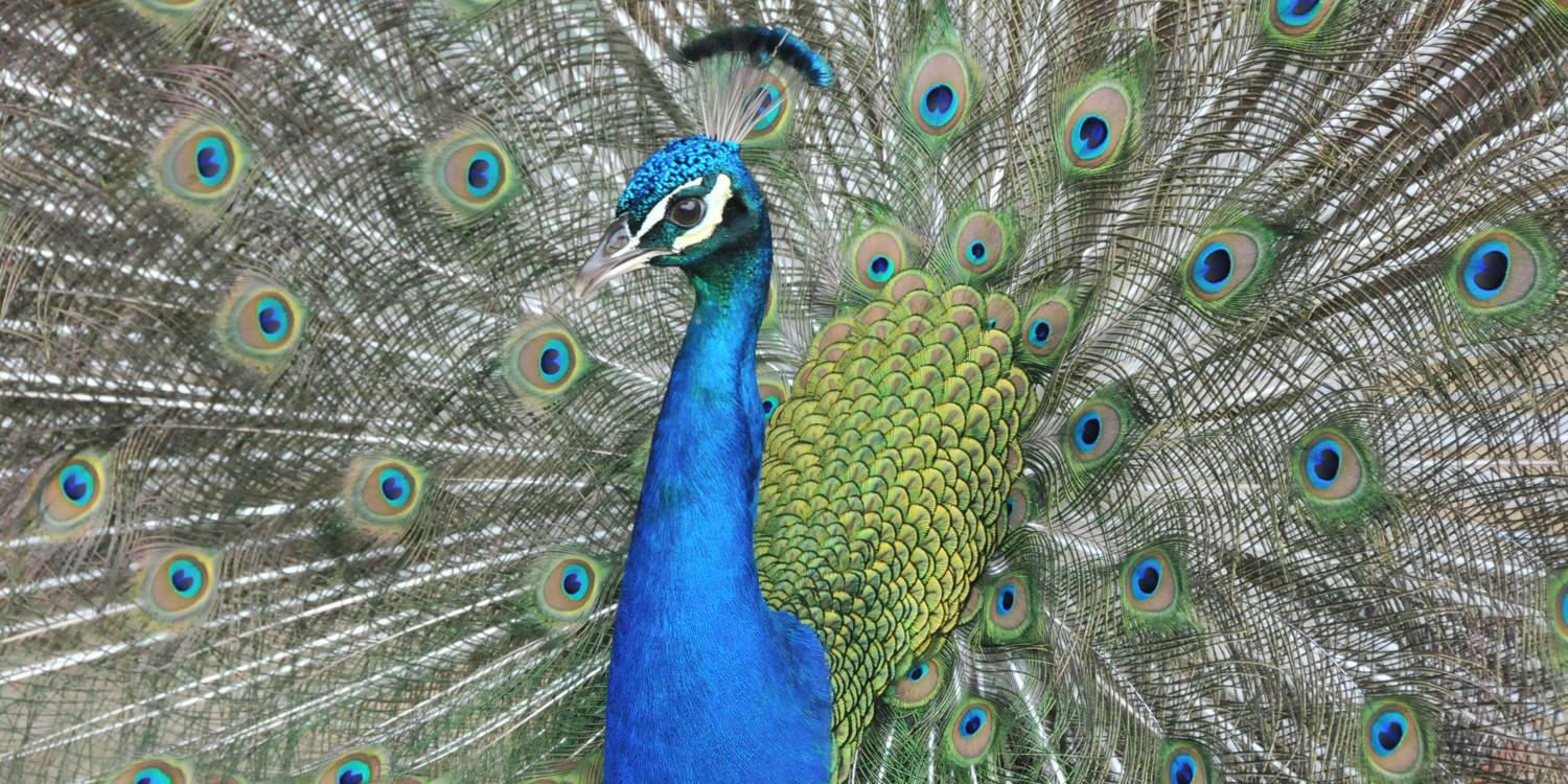 Peacock in Coffs Harbour