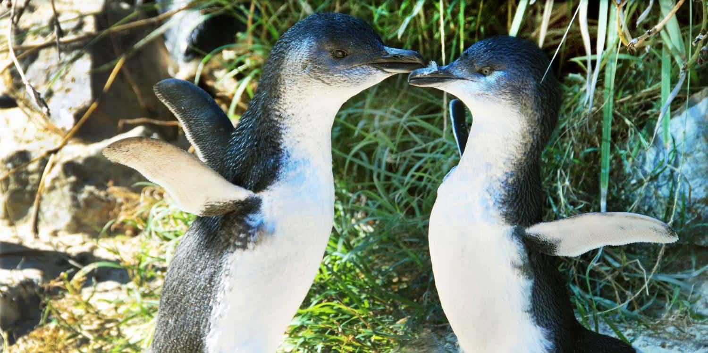 Penguins in Coffs Harbourt