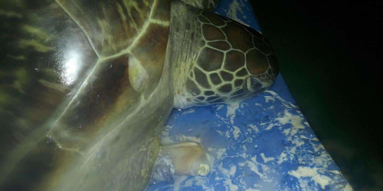 Turtle Rescue Coffs Coast